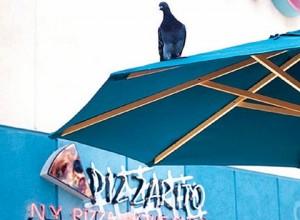 Pigeon On Umbrella