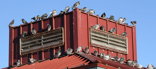 pigeons roof damage